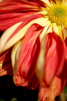 Free Chrysanthemum Stock Photos - 3978063