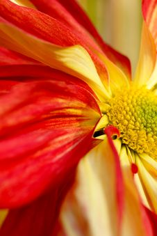 Free Chrysanthemum Stock Photography - 3978132