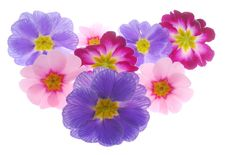 Free Primula Stock Photos - 3978693