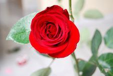 Free Rose Flower 1 Stock Photography - 3979012