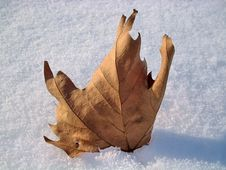 Free Leaf In The Snow Royalty Free Stock Photography - 3979107