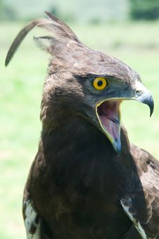 Free Crested Eagle Royalty Free Stock Photos - 3979768
