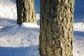 Free Pine Trunks Detail Royalty Free Stock Image - 3982716