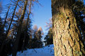 Free Pine Trunk Detail Stock Photos - 3982753