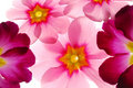 Free Primula Flowers Stock Photography - 3987982