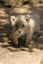Free White Lion Cub Royalty Free Stock Photos - 3988578