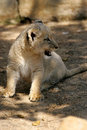 Free White Lion Cub Royalty Free Stock Photos - 3988588