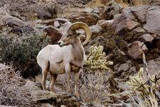 Peninsular Bighorn Sheep Royalty Free Stock Photos
