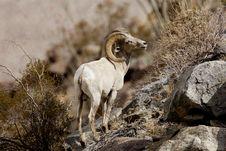 Peninsular Bighorn Sheep Stock Image