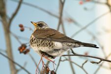 Fieldfare On A Blue Background Royalty Free Stock Photo