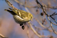 Free Small Siskin (carduelis Spinus) Royalty Free Stock Photos - 3980478