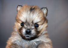 Free Puppy Royalty Free Stock Photo - 3980545