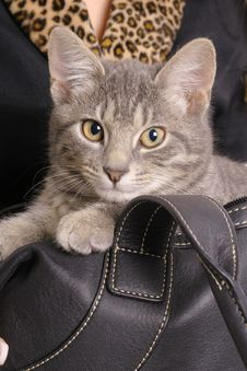 Free Kitten In Bag With Fur Royalty Free Stock Photography - 3980587