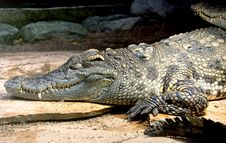 Free Siam Crocodile 12 Royalty Free Stock Photo - 3980835