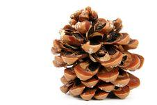 Free Pine Cone Stock Photo - 3982090