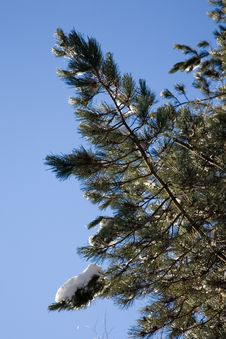 Free Detail Of Pines Trees Royalty Free Stock Photography - 3982667