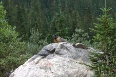 Free Yellow-bellied Marmot Lookout Royalty Free Stock Image - 3982846