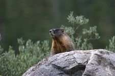 Free Yellow-bellied Marmot Overlook Stock Photos - 3982863