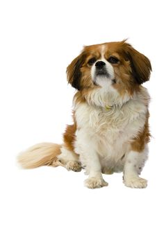 Free Cavalier King Charles On White Background Royalty Free Stock Image - 3982906