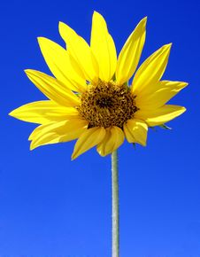Free Sunflower 01 Royalty Free Stock Image - 3983546