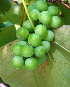 Free Grape Vine Stock Photo - 3984000