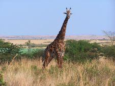 Free Masai Giraffe Royalty Free Stock Image - 3984386