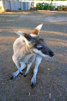 Free Kangaroo Royalty Free Stock Image - 3985046