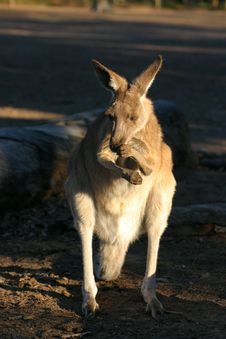 Free Kangaroo Royalty Free Stock Photo - 3985065