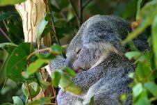 Free Koala Bear Stock Photography - 3985072
