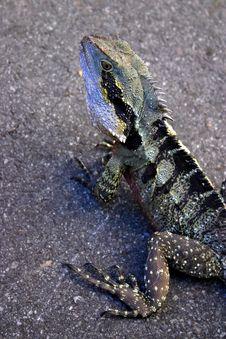 Free Iguana Royalty Free Stock Photography - 3985107