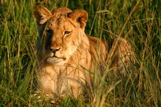 Lioness In The Morning Stock Image
