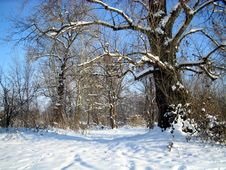 Free Winter  Trees Royalty Free Stock Image - 3986196