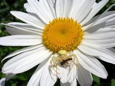 Free A Spider On Ox-eye Daisy Royalty Free Stock Images - 3986369