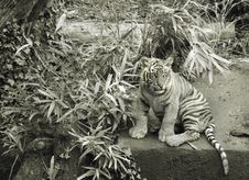 Free Tiger Cub Royalty Free Stock Photography - 3987167