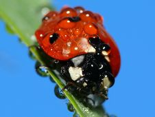Free Wet Lady Bug Stock Photo - 3987460