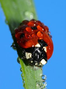 Free Wet Lady Bug Stock Photography - 3987472