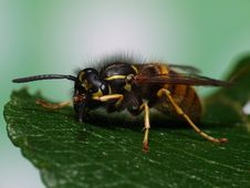 Beautiful Wasp Stock Photography