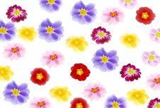 Free Primula Flowers Stock Photography - 3987822