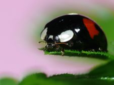 Free Colorfull Lady Bug Royalty Free Stock Photo - 3987825