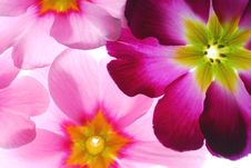 Free Primula Flowers Royalty Free Stock Photos - 3987958