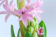 Free Hyacinth Stock Image - 3988001