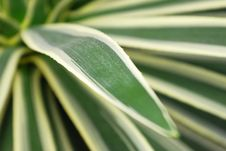 Free Agave Leaf Background Royalty Free Stock Images - 3988169