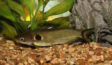 Free Catfish In Aquario. Royalty Free Stock Image - 3988496