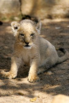 Free White Lion Cub Stock Photography - 3988592