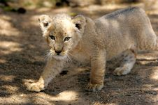 Free White Lion Cub Royalty Free Stock Image - 3988596