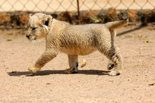 Free White Lion Cub Stock Photography - 3988632