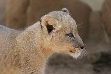 White Lion Cub Stock Image