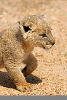 White Lion Cub Royalty Free Stock Photo