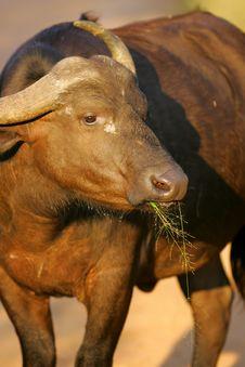 Free Cape Buffalo Stock Photography - 3988882