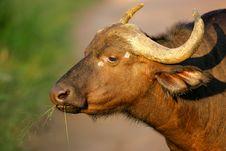 Free Cape Buffalo Stock Images - 3988904